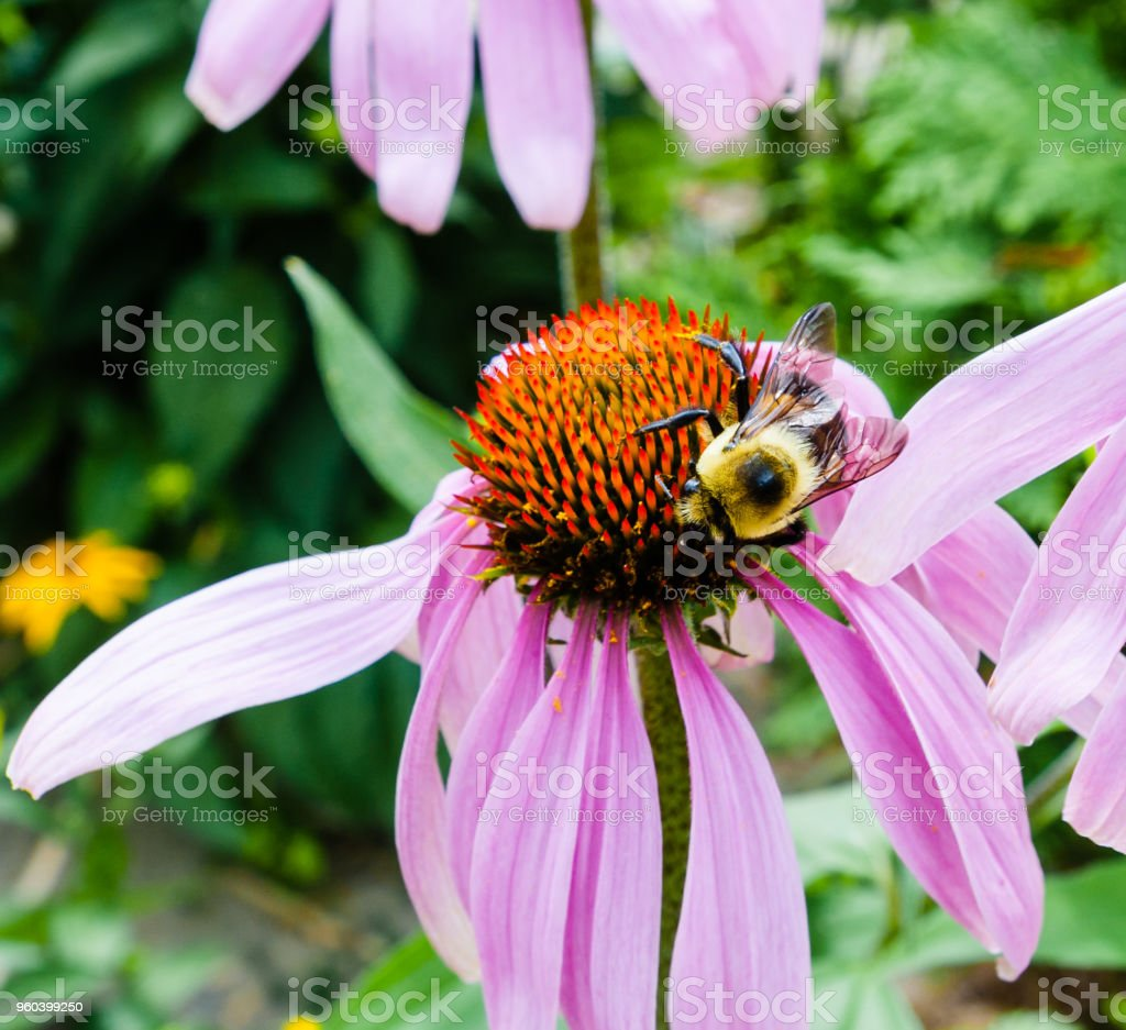 Detail of bee on red and purple flower. stock photo