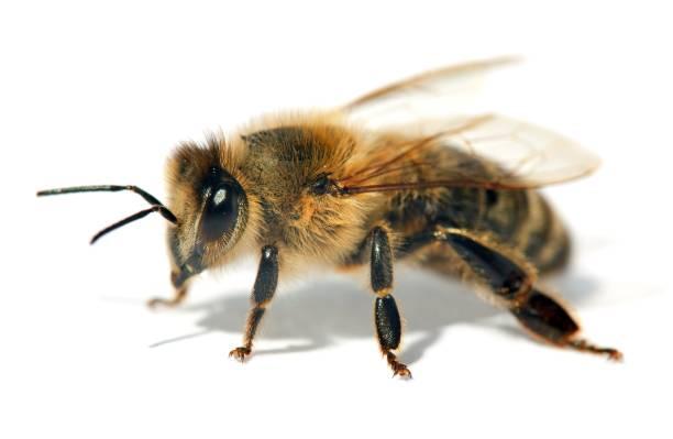 detail of bee or honeybee , Apis Mellifera stock photo