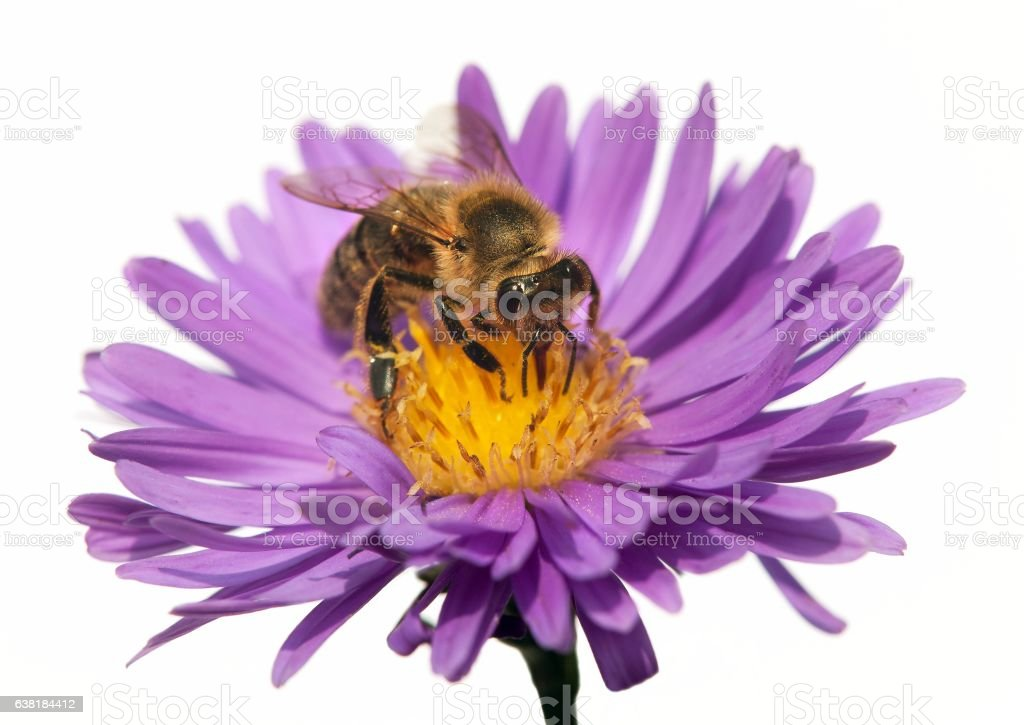 detail of bee or honeybee in Latin Apis Mellifera stock photo