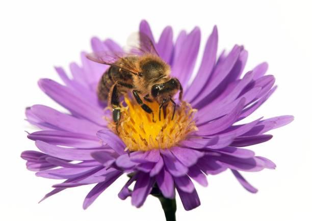 detail of bee or honeybee in Latin Apis Mellifera - Photo