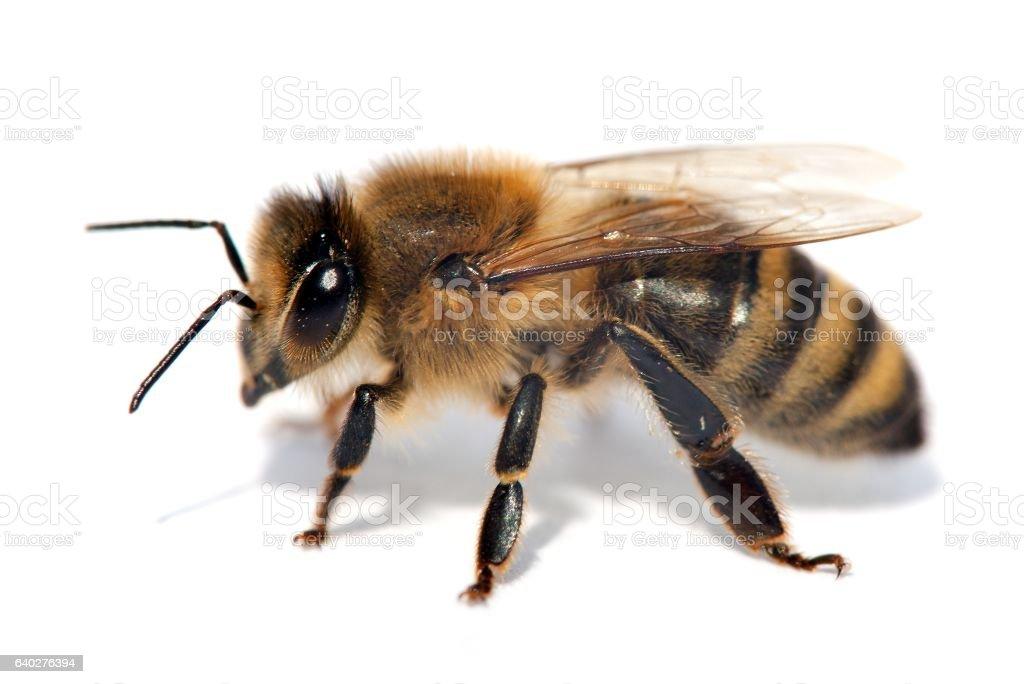 detail of bee or honeybee in Latin Apis Mellifera stock photo