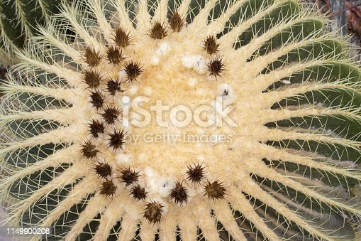 Detail of big cactus with flower - echinocactus grusonii in botanical garden
