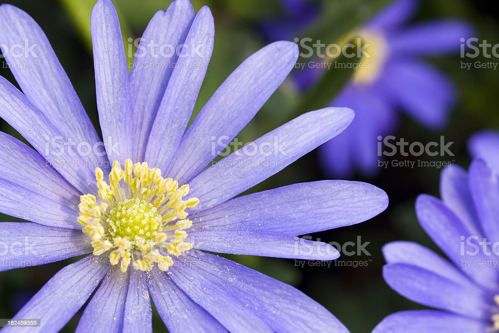 Detail of blue Greek Windflower royalty-free stock photo