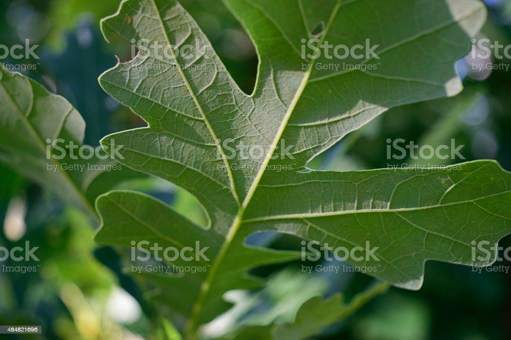 Detail of Bottom of Bur Oak (Quercus macrocarpa) Leaf stock photo