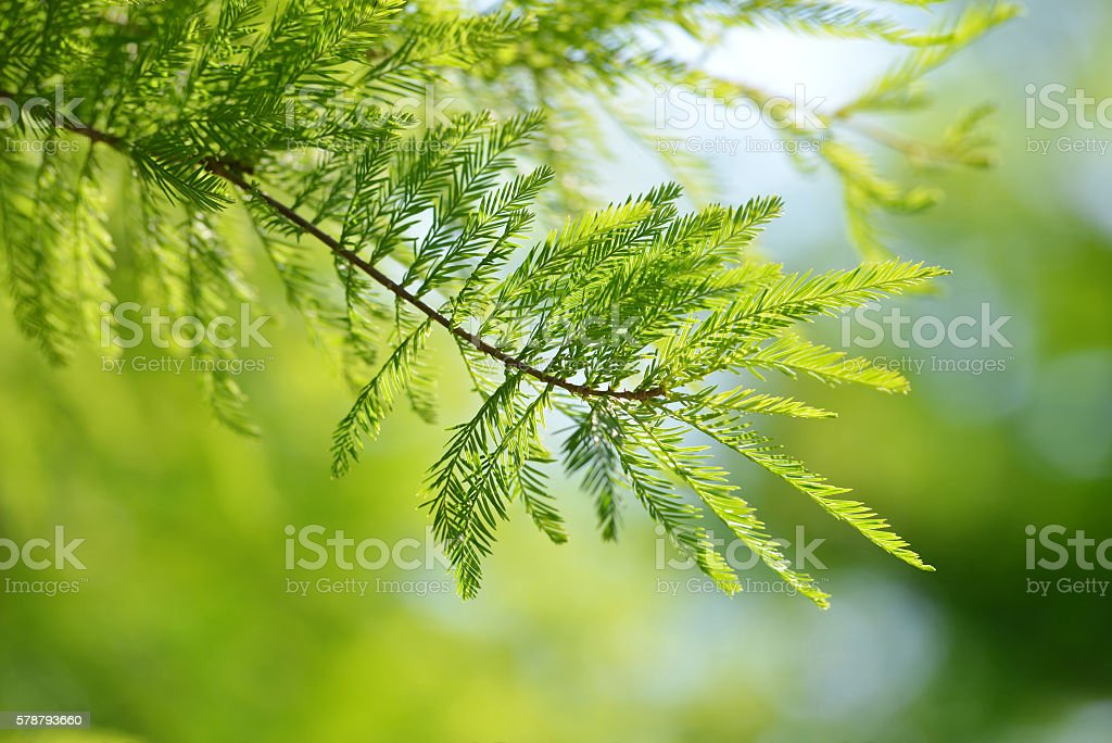 Detail of branch tree Bald Cypress (Taxodium distichum) stock photo