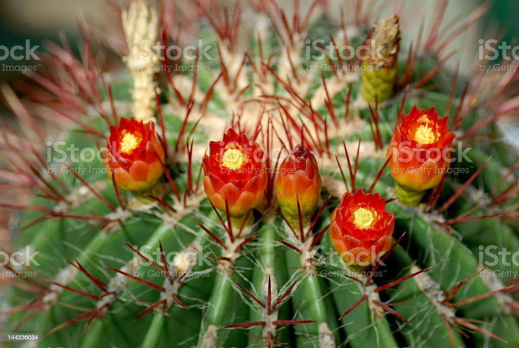 Detail of cactus blooming stock photo