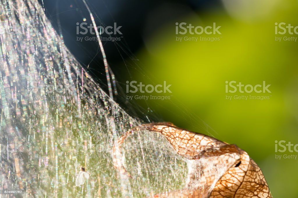 detail of caterpillar tent and a brown stripped leaf against green background stock photo