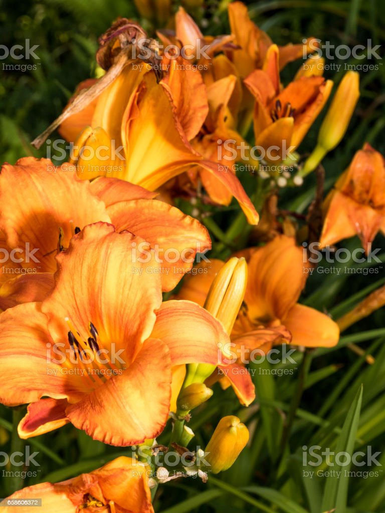Detail of colerful lily flower stock photo more pictures of beauty detail of colerful lily flower royalty free stock photo izmirmasajfo