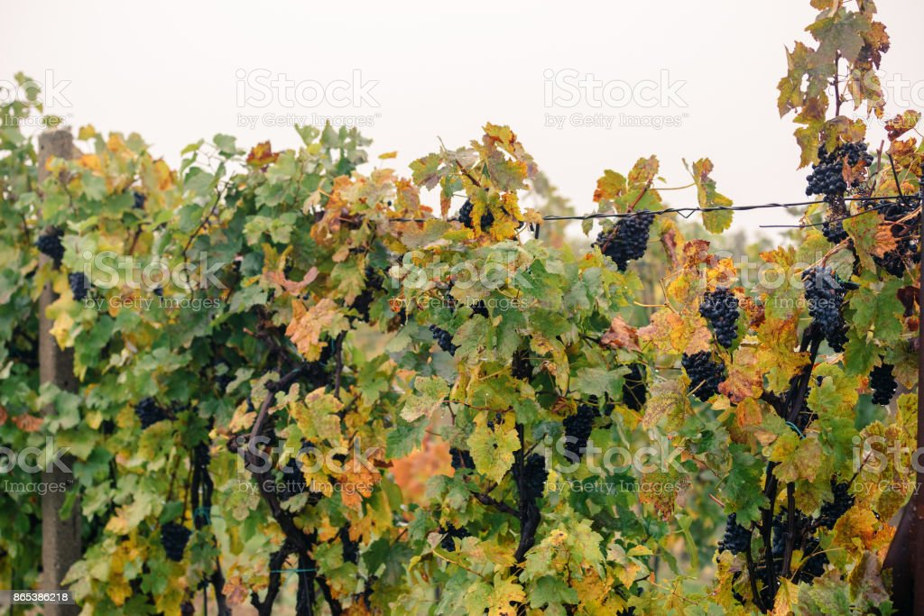 Detail of colorful vineyard  autumn in the South Moravian region stock photo