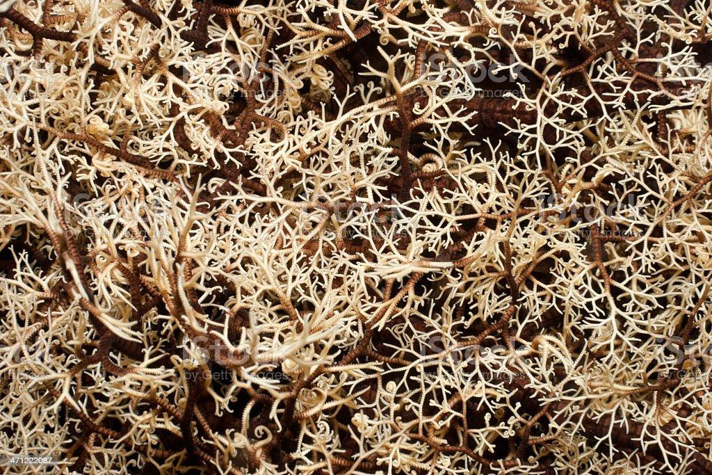 Detail of Common Basket Star Gorgonocephalus eucnemis, Bunaken Island, Indonesia stock photo