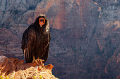 Detail of condor with funny expression in Zion national park, Utah, USA