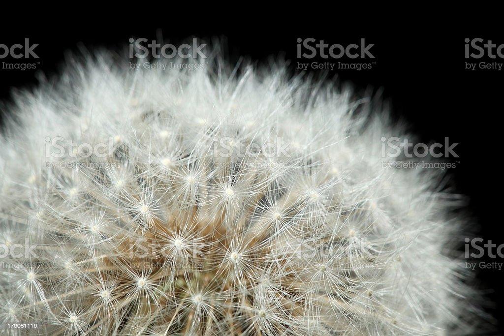 Detail of Dandelion royalty-free stock photo