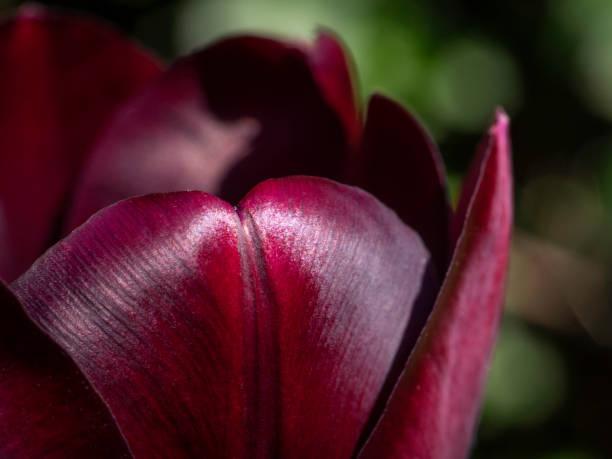 Detail of dark purple tulip flower with dark green background stock photo