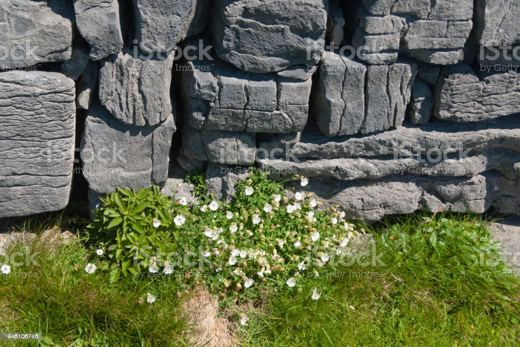 Detail of Dun Aonghasa Dry Stone Wall with White Flowers of Sea Campion stock photo