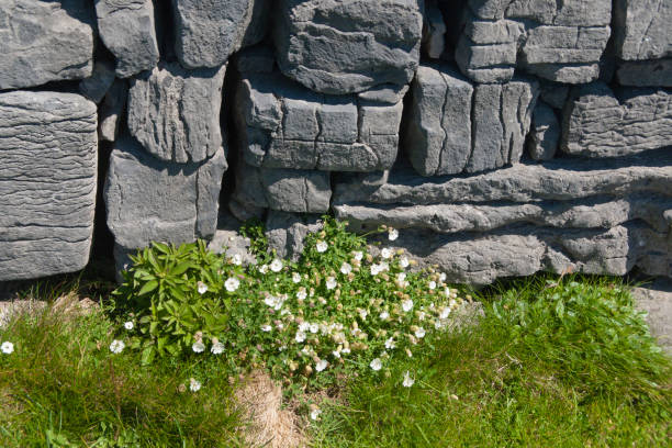 Detail of Dun Aonghasa Dry Stone Wall with White Flowers of Sea Campion A detail of the interior wall of Dun Aonghasa (Dun Aengus) in springtime.  White flowers of Sea Campion (Scientific Name: Silene uniflora) (Irish Name: Coirean mara) set against the ancient dry stone wall.  Inishmore, Aran Islands, County Galway, Ireland. michael stephen wills aran stock pictures, royalty-free photos & images