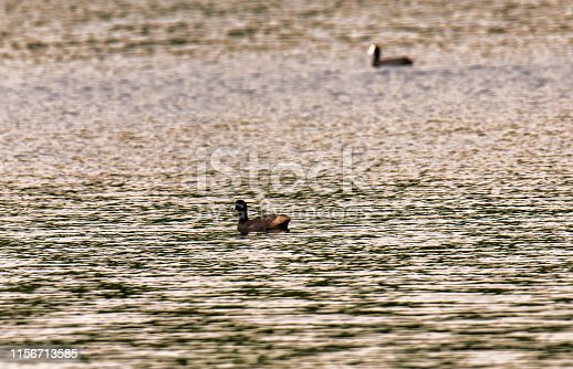 istock detail of Eurasian coot on the lake 1156713585