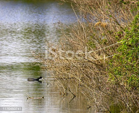 istock detail of Eurasian coot on the lake 1170450741