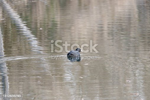 istock detail of Eurasian coot on the lake 1312635293