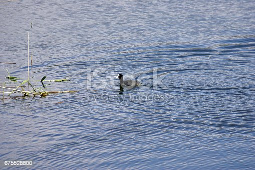 istock detail of Eurasian coot on the lake 675528800