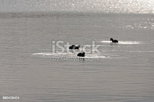 istock detail of Eurasian coot on the lake 890426424