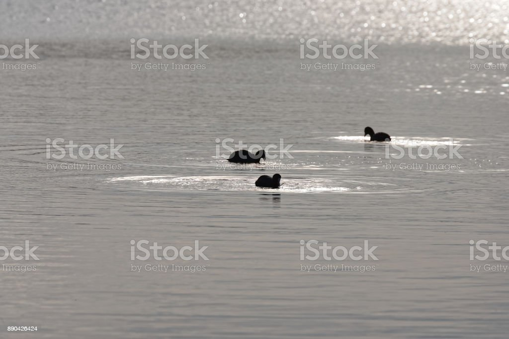 detail of Eurasian coot on the lake stock photo