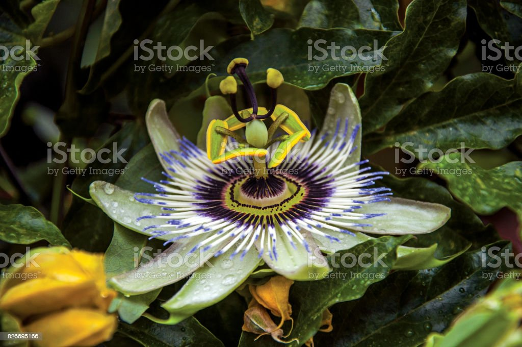 Detail of exotic garden flower in the village of Châteauneuf-du-Pape. stock photo