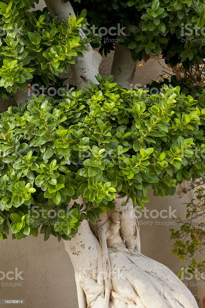 Detail of Ficus Tree stock photo
