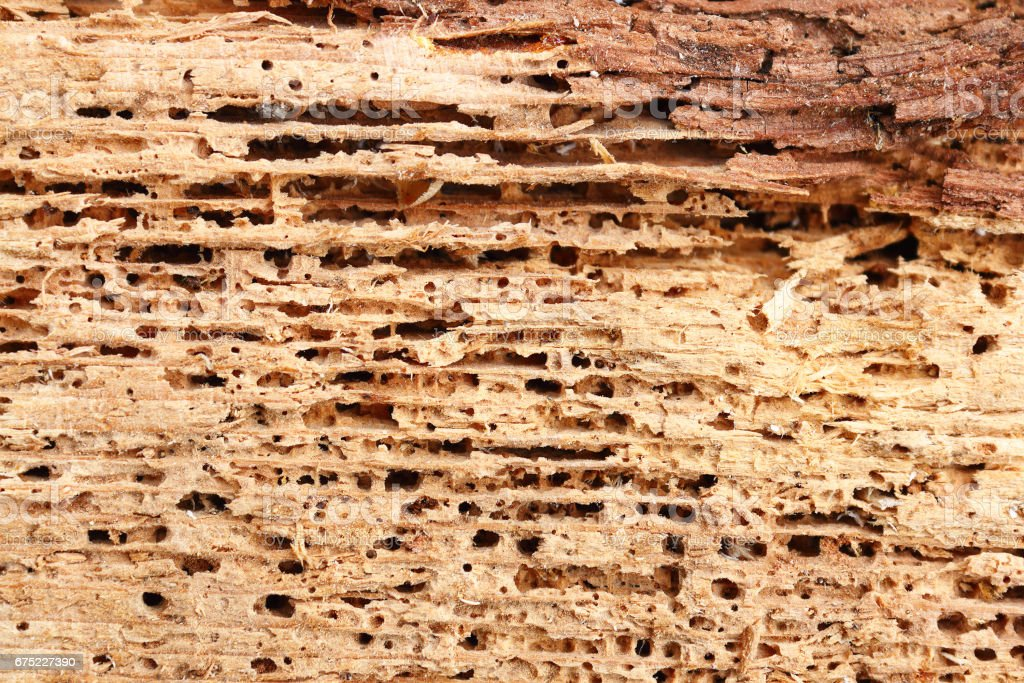 detail of fir wood damaged by fungus and insects stock photo