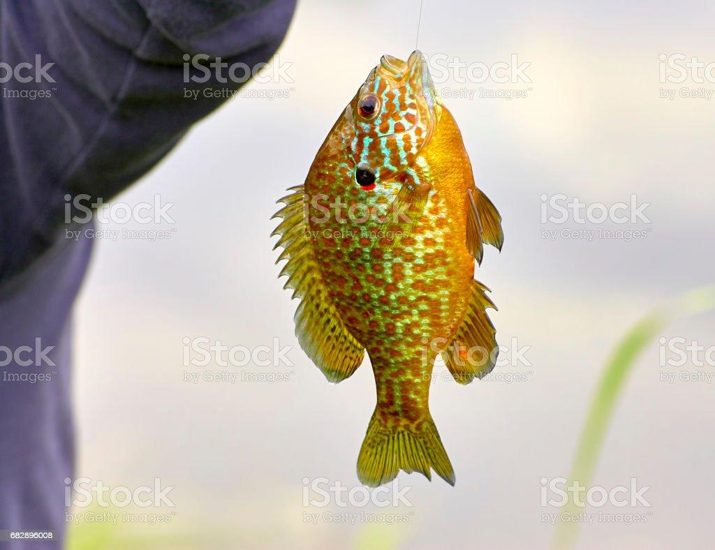 detail of fished Lepomis gibbosus stock photo