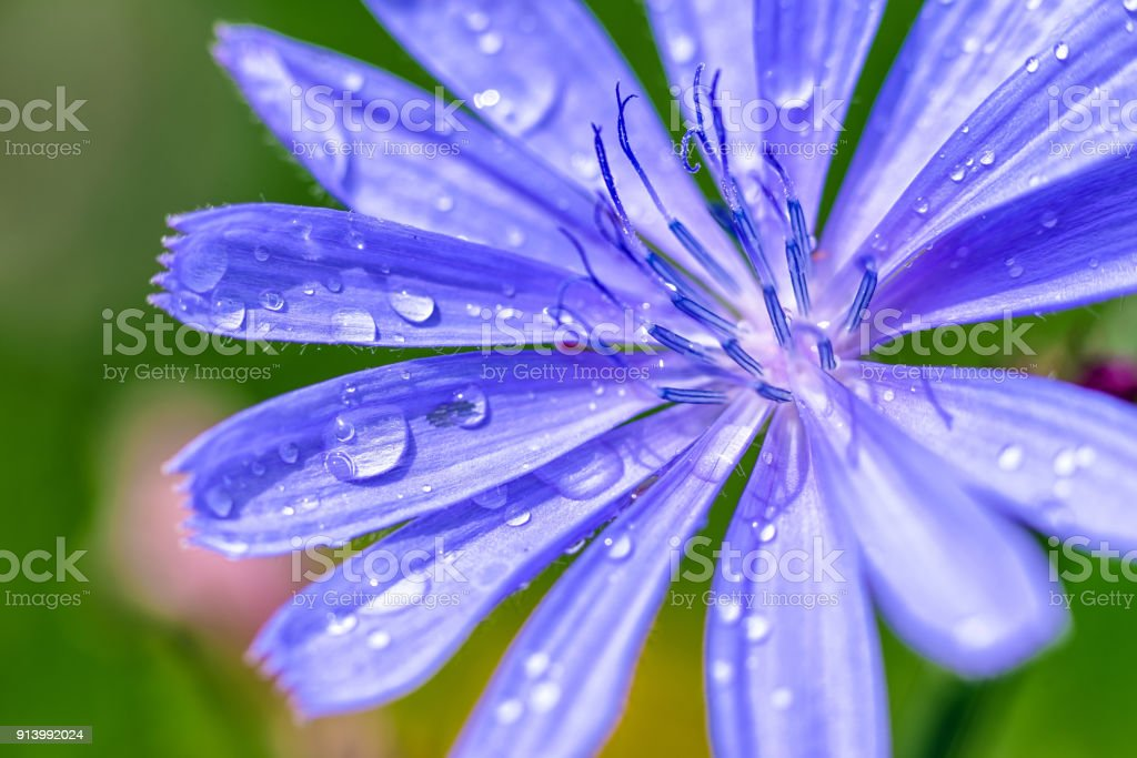 Detail of flower - stigma. Water drops stock photo