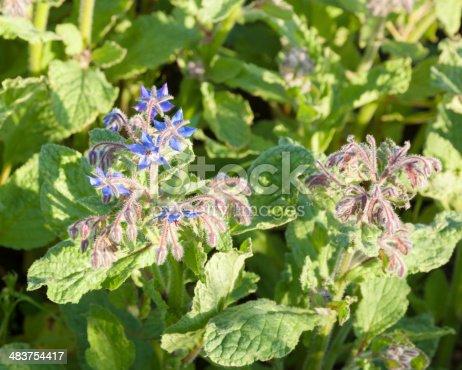 istock detail of flowering borage in Essex England Borago officinalis 483754417
