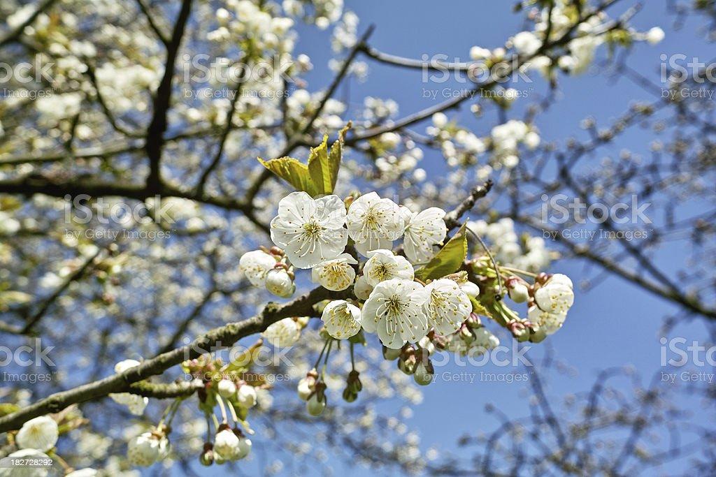 detail der blühenden Kirschbaum im Frühling – Foto