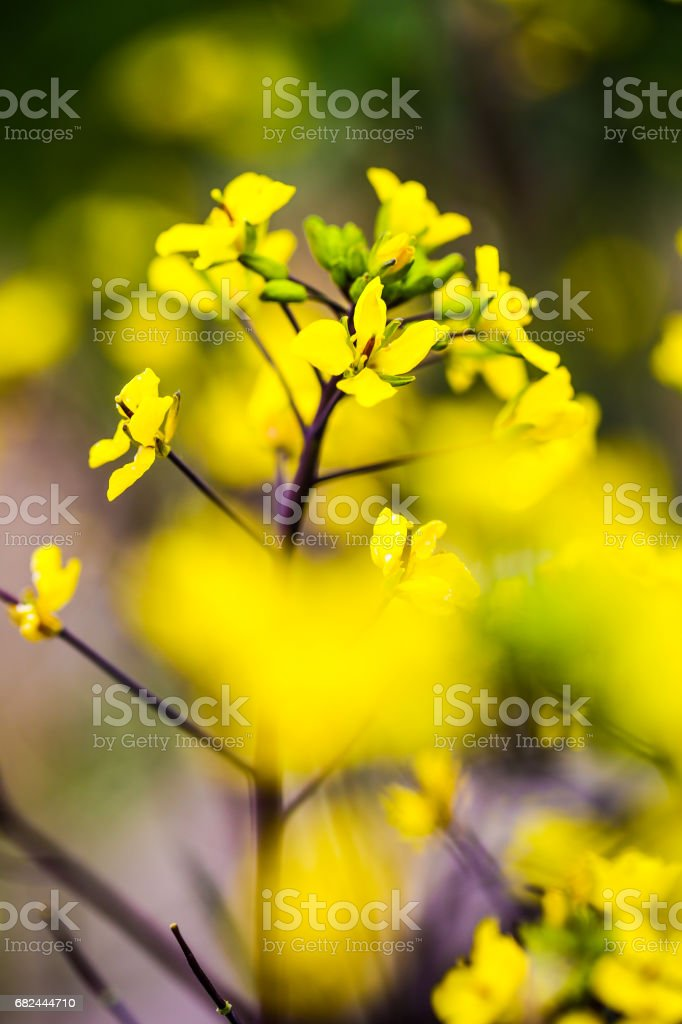 Detail of flowering rapeseed royalty-free stock photo
