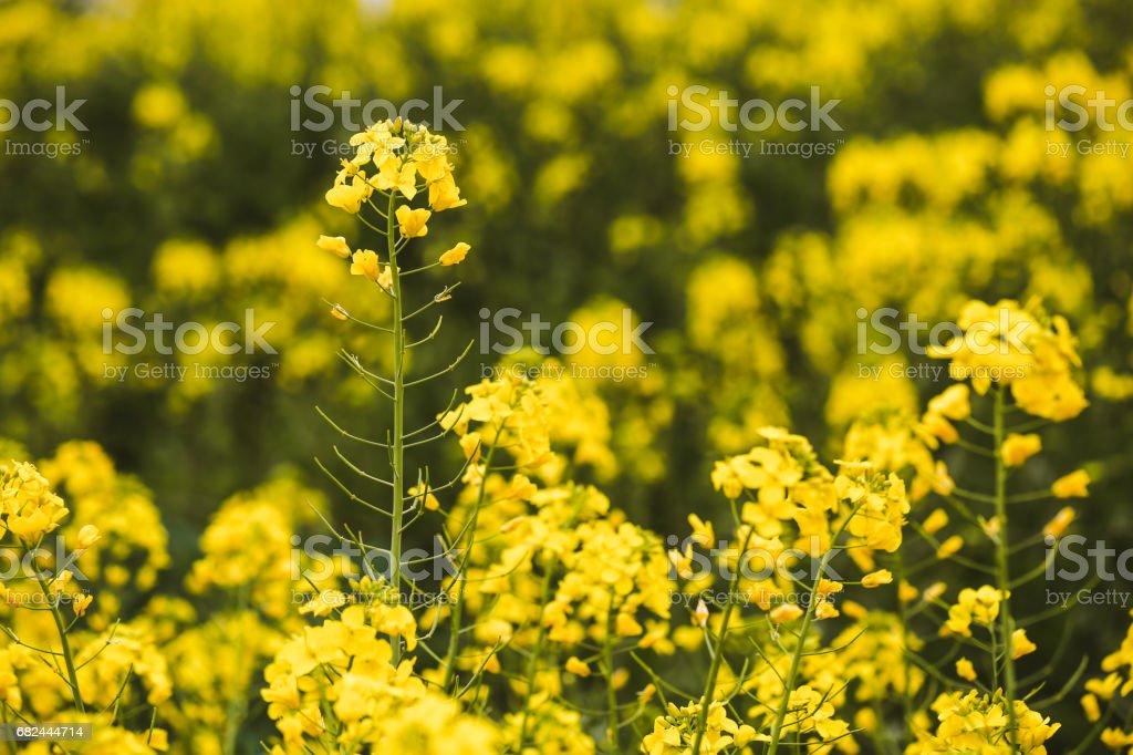 Detail of flowering rapeseed foto de stock libre de derechos