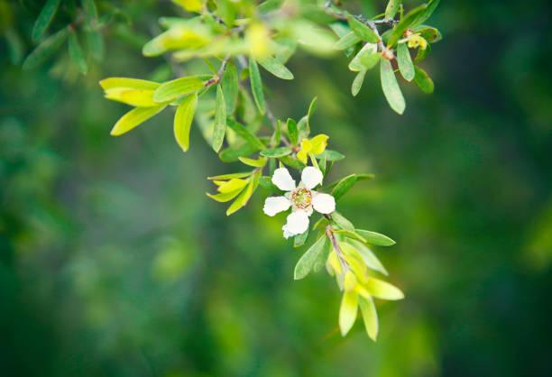 Detail of flowering tea tree plant stock photo