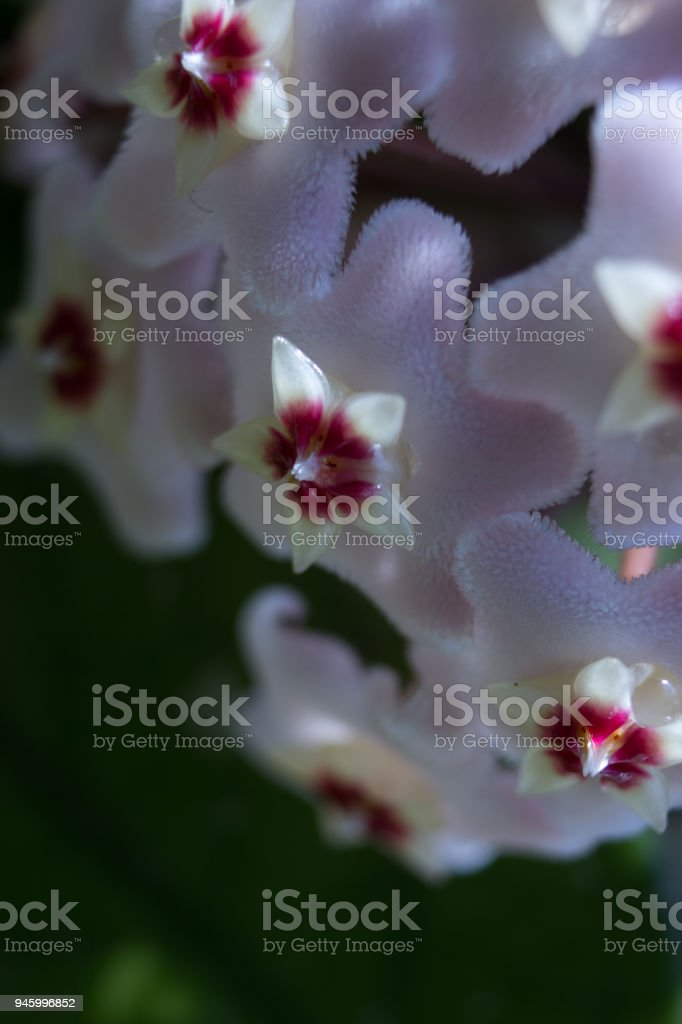 Detail of flowers of Hoya Carnosa stock photo