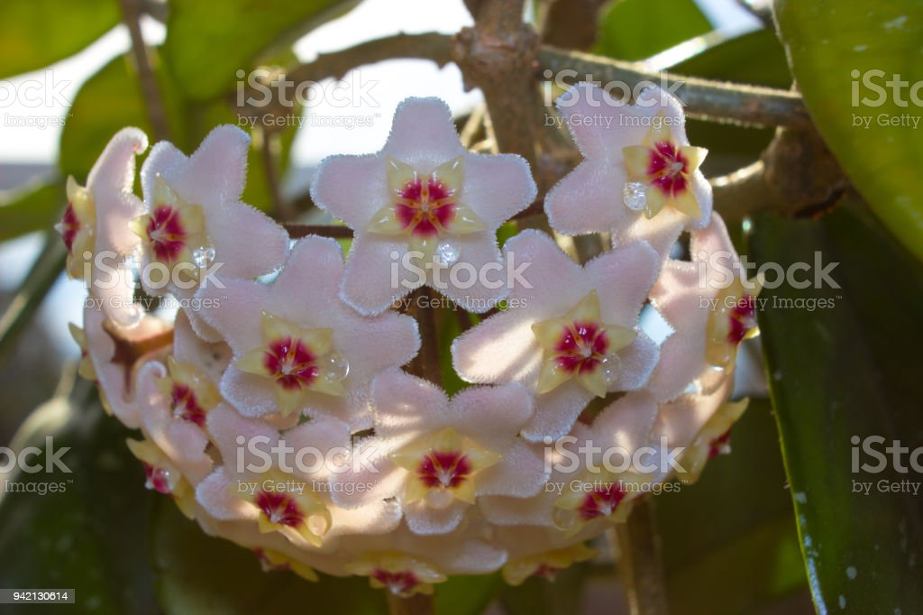 Detail of flowers of wax plant in sunshine stock photo