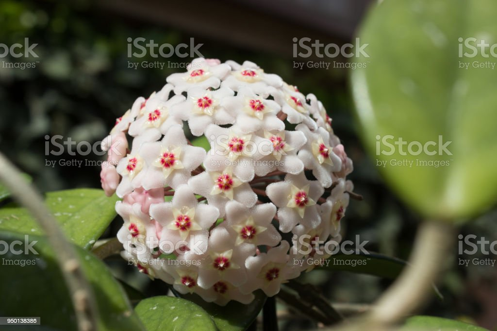 Detail of flowers of wax plant (Hoya carnosa) stock photo