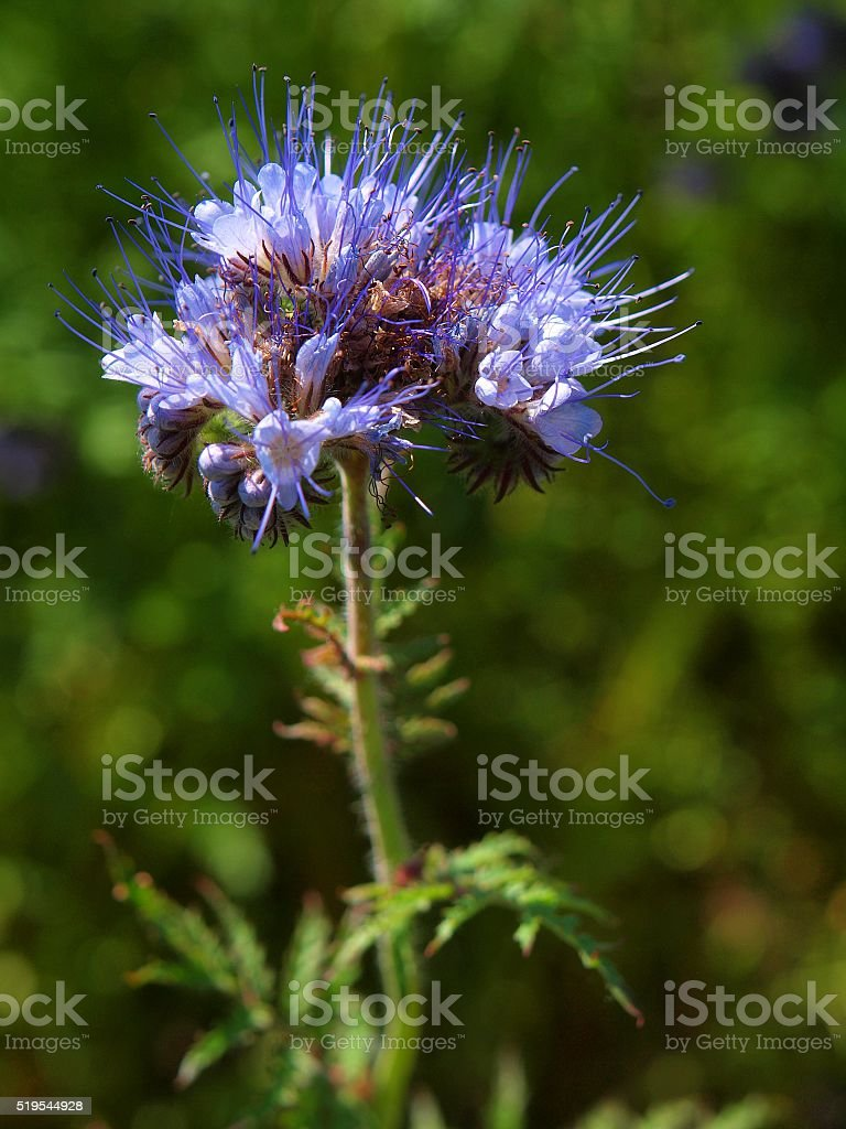 Detail of fresh Purple Tansy in field in background. stock photo