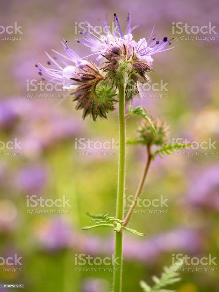Detail of fresh Purple Tansy in field of purple flowers stock photo