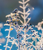 detail of frozen blue berry with ice