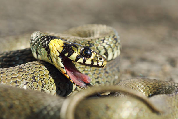 detail of grass snake with open mouth - snake strike stock photos and pictures