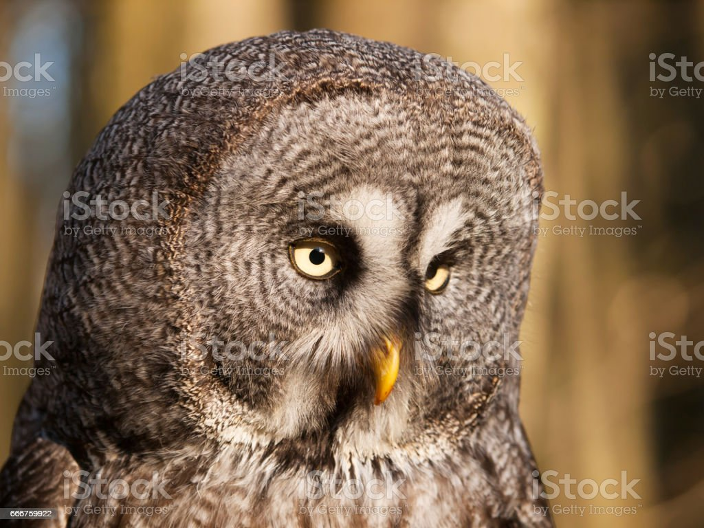 Detail of head of geat grey owl - Strix nebulosa foto stock royalty-free