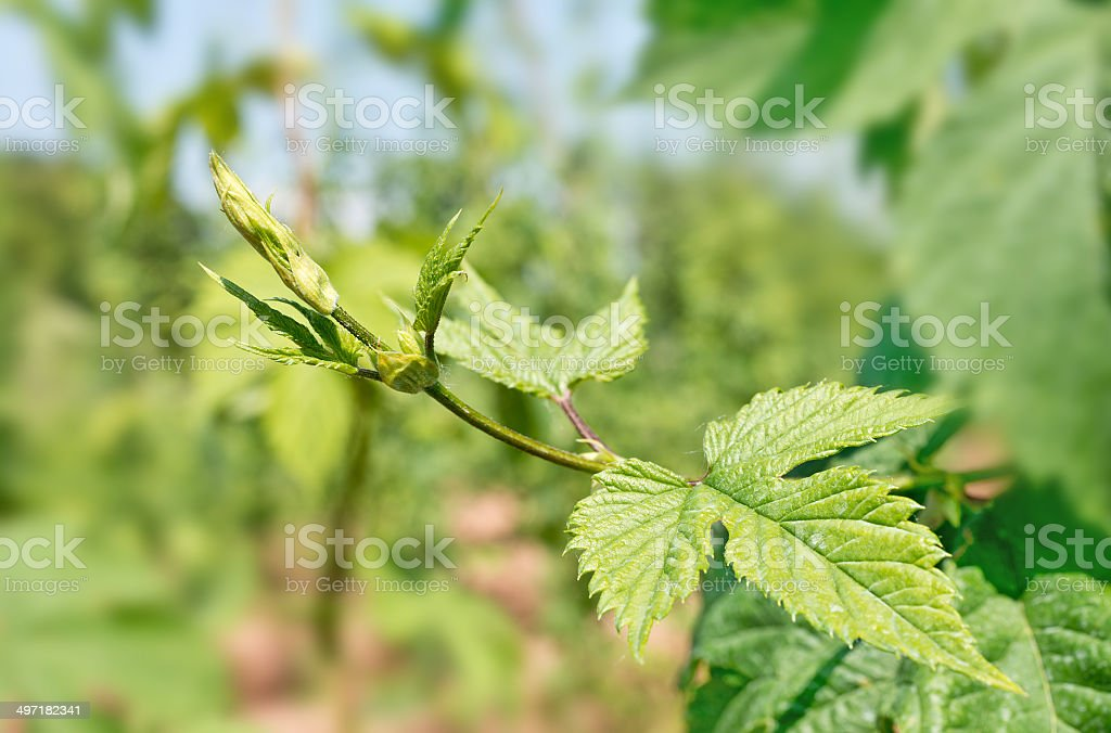 detail of hops stock photo