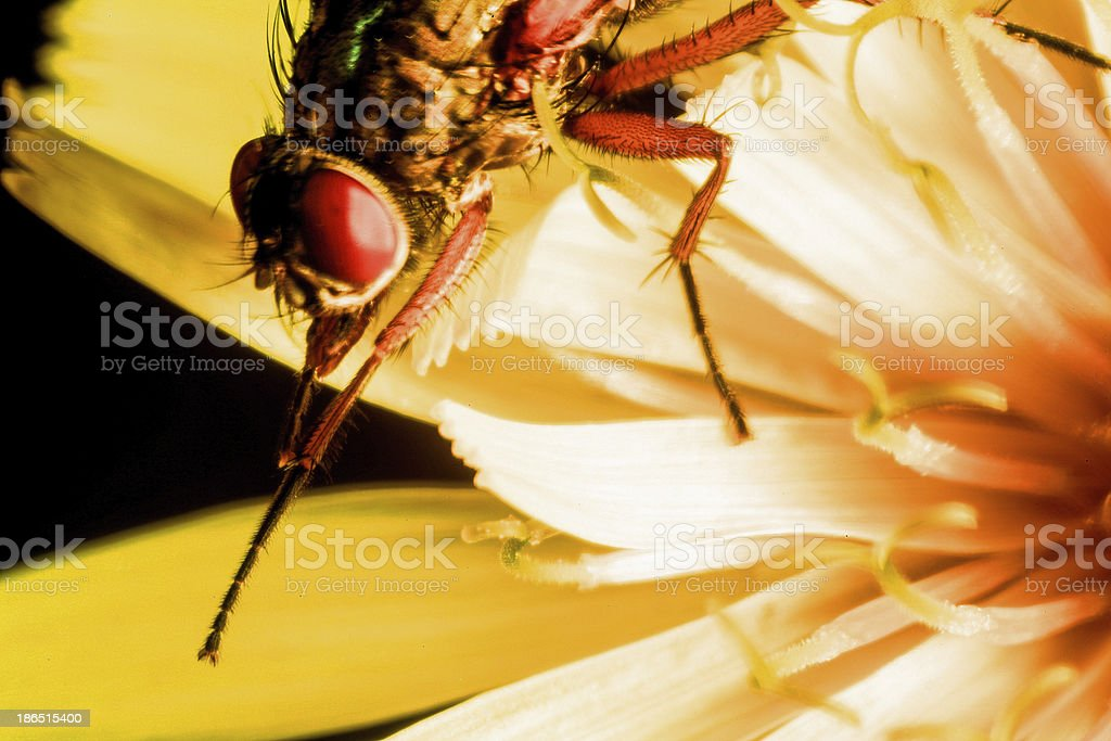 Detail of hoverfly on a yellow flower macro royalty-free stock photo