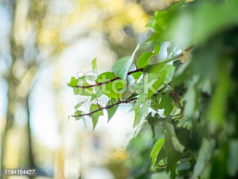 detail of ivy leaves with blurred background