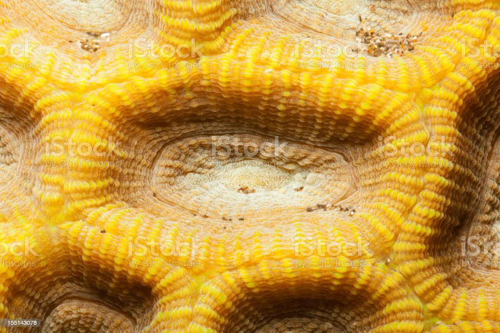 Detail of Knob coral Favia rotundata, Manado, North Sulawesi, Indonesia stock photo