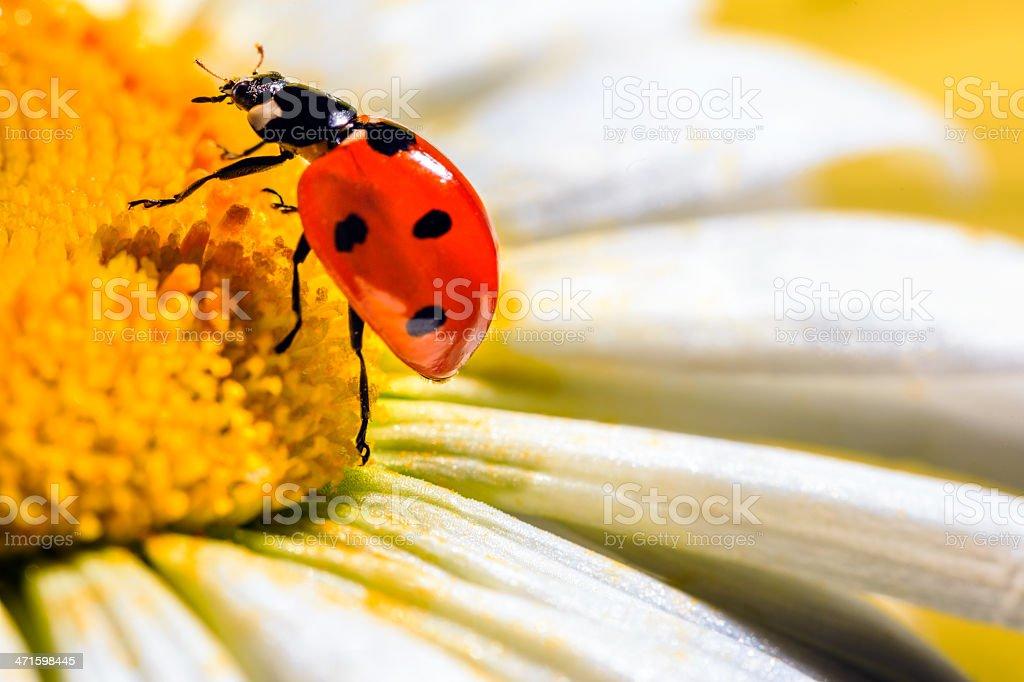 Detail of Ladybug on a daisy royalty-free stock photo
