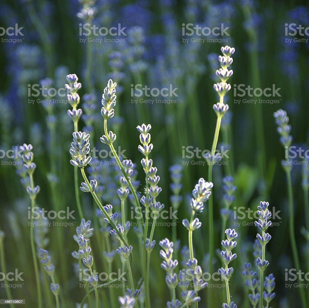 Detail of lavender, lavendula officinalis stock photo