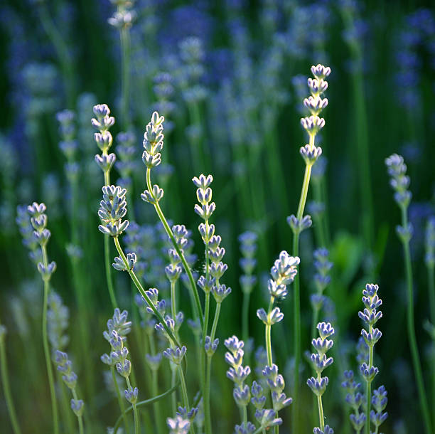 Detail of lavender, lavendula officinalis stock photo